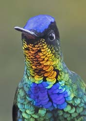 Fiery Troated Hummingbird