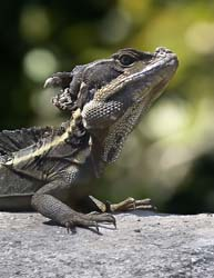 his lizard is able to run short distances across water using both its feet and tail for support